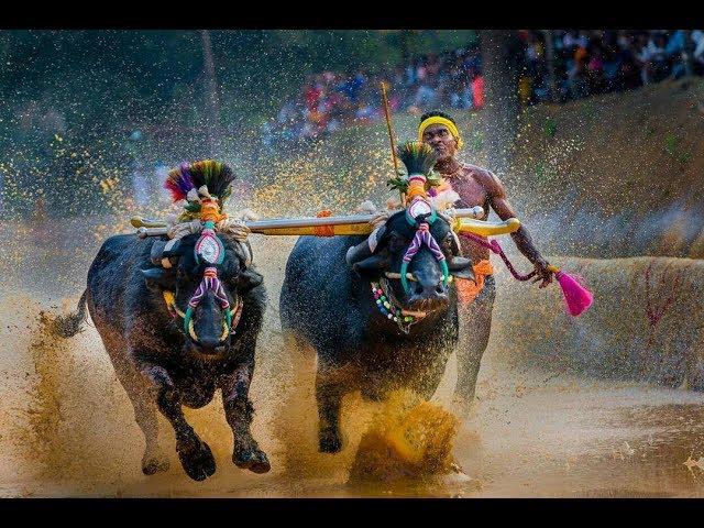 Moodubidire Koti Chennaya Kambala-buffalo race -2017  by kudla