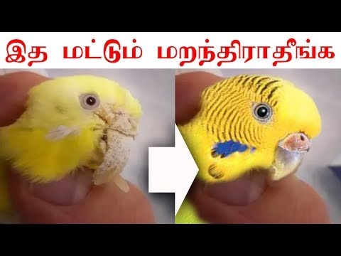Repeat budgies breeding pot and cage setup ideas in tamil by