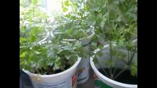 видео Укроп и петрушка на балконе: выращивание в домашних условиях