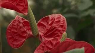 видео Цветок антуриум: разновидности, выращивание и уход