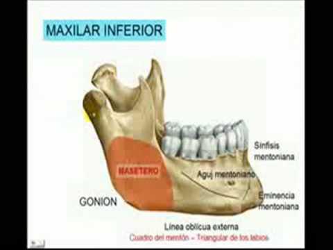 MAXILAR INFERIOR MANDÍBULA - YouTube
