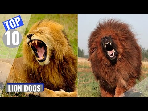 Top 10 Dog Breeds That Look Like Lions