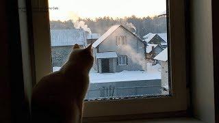 Тайский кот Дориан любуется рассветом, умывшись после еды! Тайские кошки - это чудо! Funny Cats