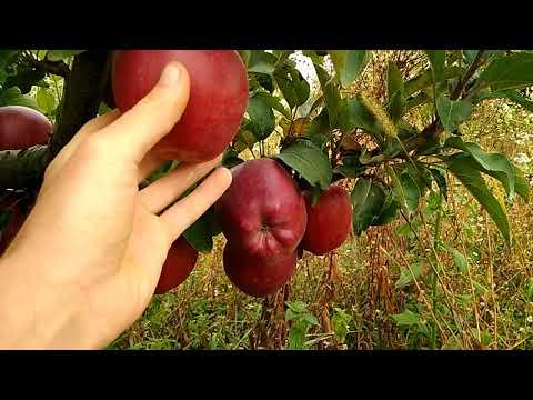 Яблоня сорт Рихард
