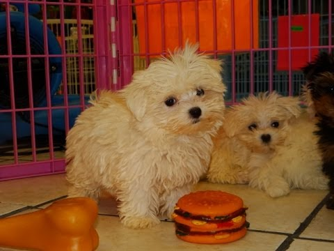 Maltese Puppies Dogs For Sale In Charlotte North