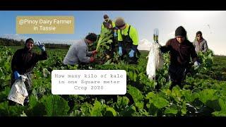 How many kilos of Kale in one Square meter [ Crops 2020 ] | Part 1 | Farm vlog | PinoyDairyFarmer
