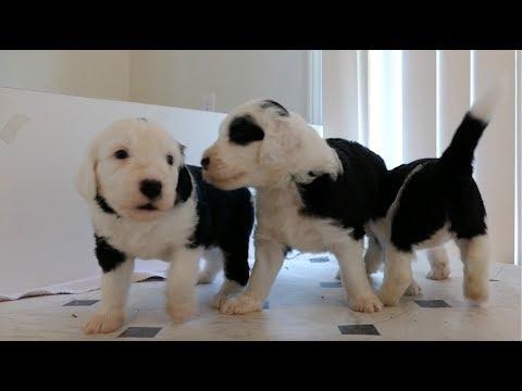 Cutest Sheepadoodle Puppies 4 Weeks Old