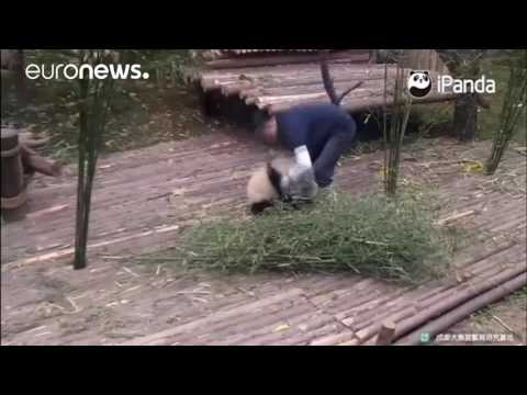 Little panda really doesn't want to let go of keeper's leg