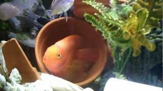 Red Blood Parrot Cichlids Guarding their eggs in Community Fish Tank