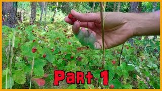 Wild Strawberries In Norway: Fresh And Living Food Part One