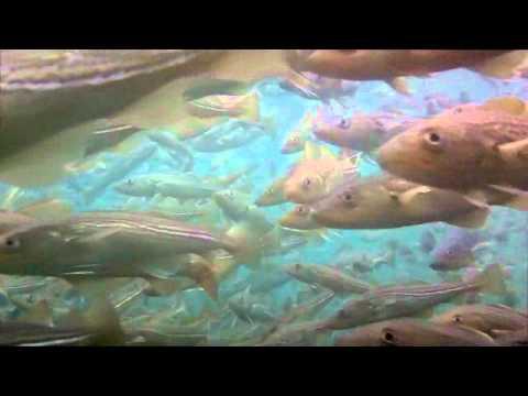 School of Atlantic Cod - Kodak PlaySport Underwater POV