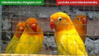 2 Hours Lovebird Sounds Aviary Series V4 - High Quality Audio Live Recording