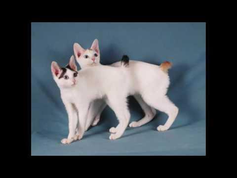 most beautiful cats / kedi cinsleri - japanese bobtail / cat breeds - japanese bobtail