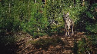 Five adult wolves that take care of united litters