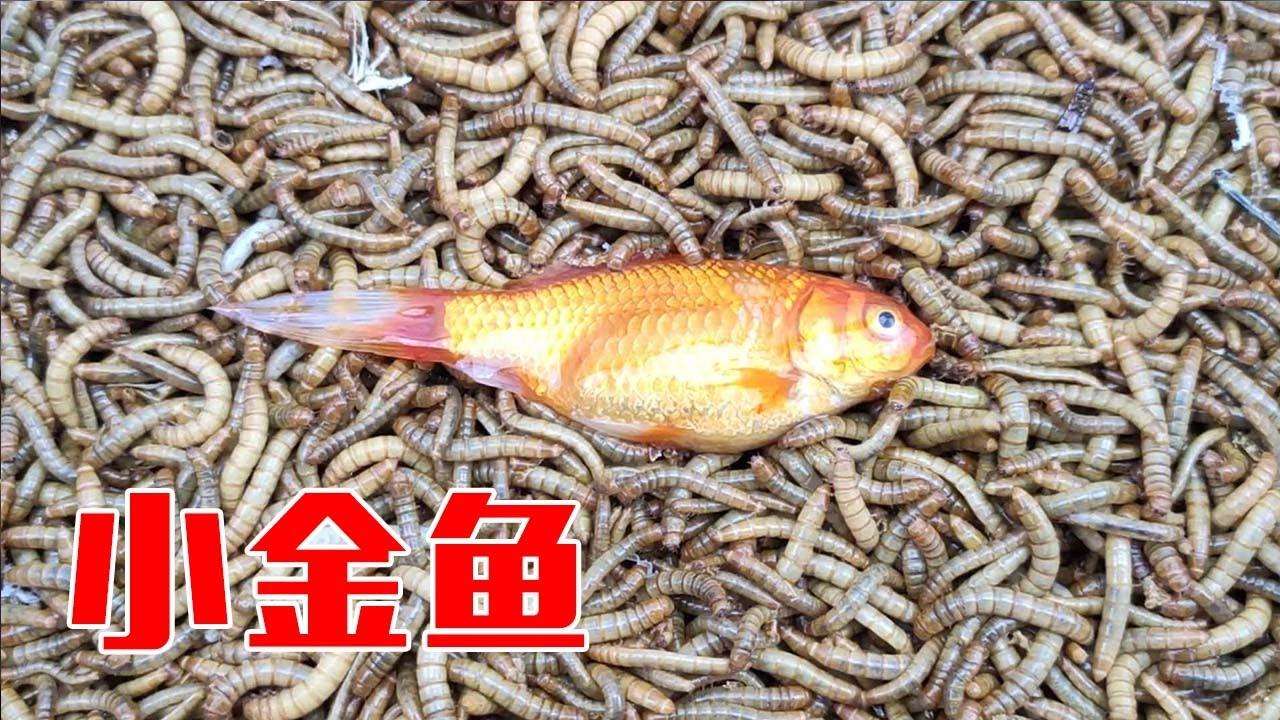 變成一堆白骨!往100000條麵包蟲里扔一條金魚會怎麼樣? 【歪點子實驗室】