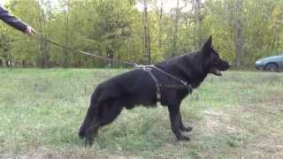 Weight Pulling And Walking Dog Harness For German Shepherd