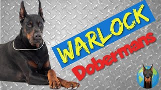 The BADDEST Dobermans Around? Warlock, King, and Goliath Dobermans