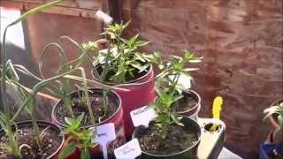 Transplanting The Shrine - Jts Indoor Pepper Garden
