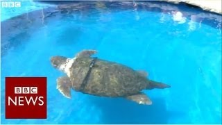 Is this World Cup turtle the new Paul the Octopus? - BBC News
