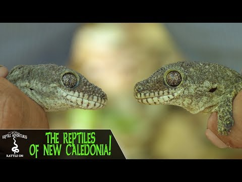 REPTILES OF NEW CALEDONIA! Rhacodactylus trachycephalus and more! (New Caledonia, 2018)