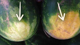 كيف تميز البطيخ الجيد والأحمر الحلو أو غير ناضج بكل بسهولة