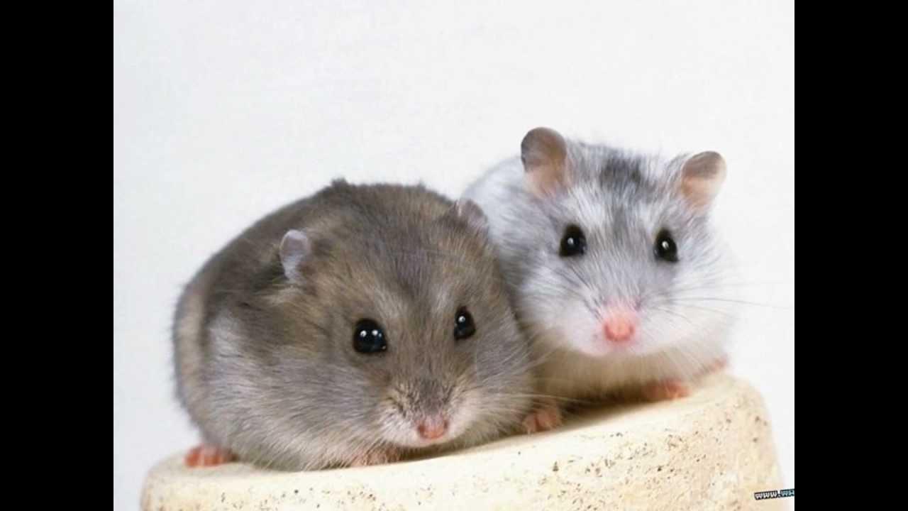 Le top 10 des hamsters trop mignon youtube - Image des mignon ...