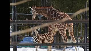 おびひろ動物園で合同展示されているアミメキリンとチャップマンシマウ...
