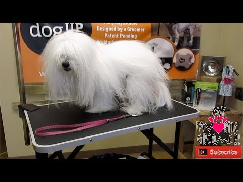 My Favorite Groomer with Max the Coton De Tulear