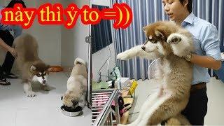 Có nên để chó Alaska Giant ăn chung với chó Pug? Bư cũng không phải dạng vừa đâu =)) PUGK PET