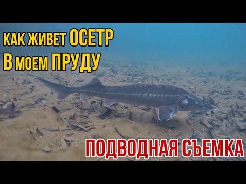 ОСЕТР В ДАЧНОМ ПРУДУ | Пруд для осетра | Подводная съемка зимой