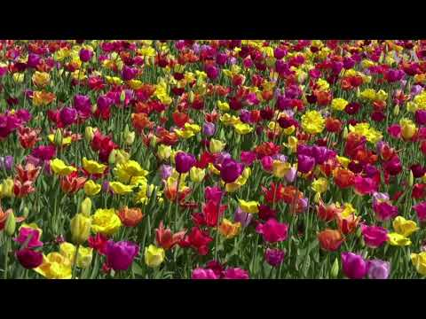 Visitors Marvel at Tulips During Spring in Netherlands