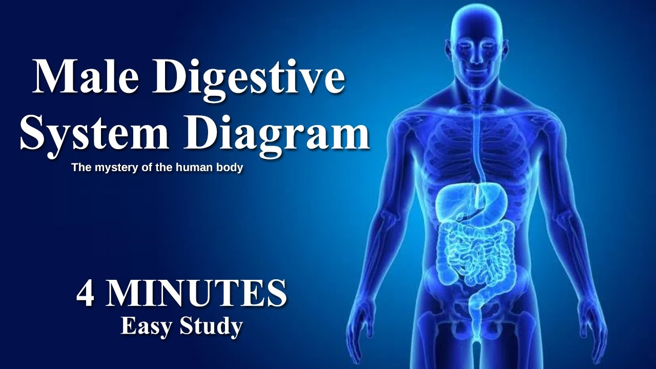 Male Digestive System Diagram 2021 | Male and Female Digestive system anatomy and physiology