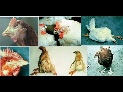 Image result for poultry diseases