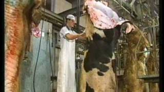 Example of cattle slaughtering lines_Part1