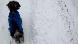 Teddy The Mini Schnauzer - Snow Walk