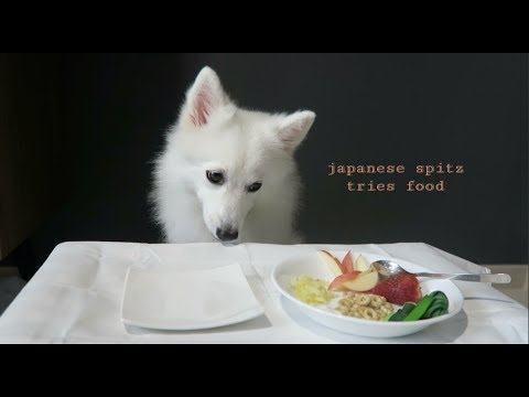 Japanese Spitz Tries Food