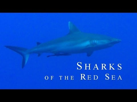 SHARKS OF THE RED SEA