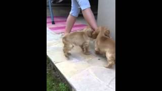 American Cocker Spaniel Pups For Sale @ Animal Planet Uae - 0504196464