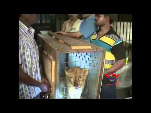 VTV - FIVE LIONS WERE BROUGHT TO INDIA FROM SOUTH AFRICA, JA