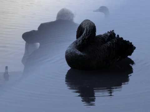 Lacrimas Profundere  Black swans