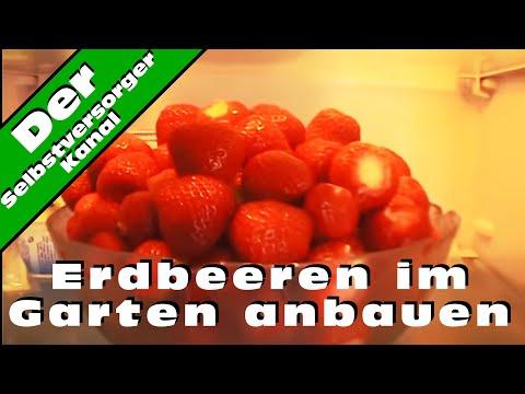 Erdbeeren im Garten anbauen und die Schwierigkeiten