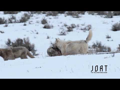 Yellowstone wolf pack moving