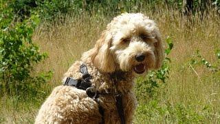 Ziggy - Australian Labradoodle - 3 Week Residential Dog Training