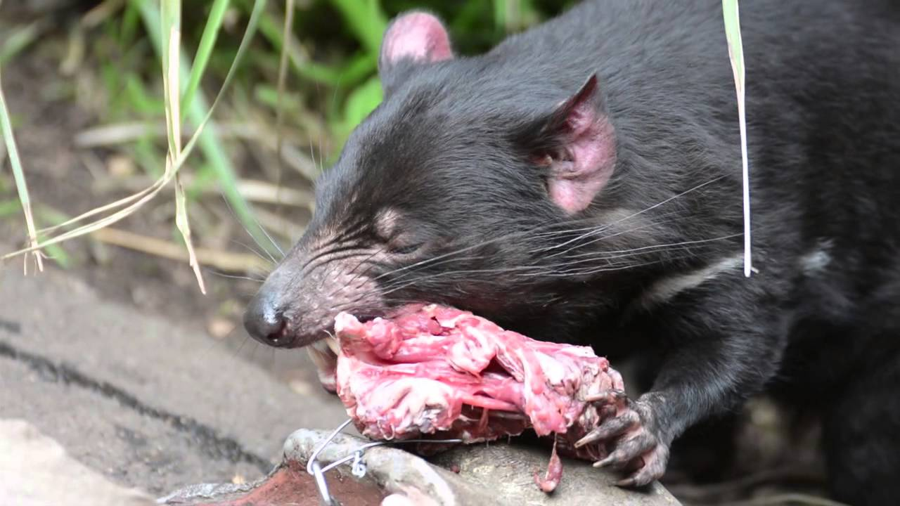 タスマニアデビルの食事 - YouTube