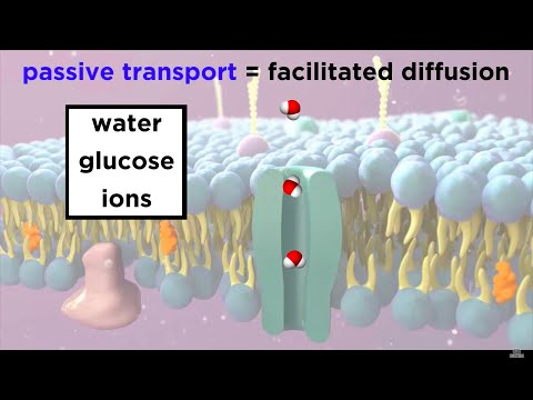 Structure Of The Cell Membrane - Active and Passive Transport
