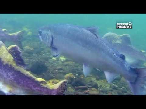 ТИХООКЕАНСКИЕ ЛОСОСИ . О чём молчат рыбы 95
