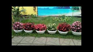 Комнатные цветы на улице Бегония и Бальзамин Пора заносить в дом!