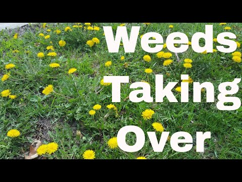 5 Reasons Weeds are Taking Over Your Lawn