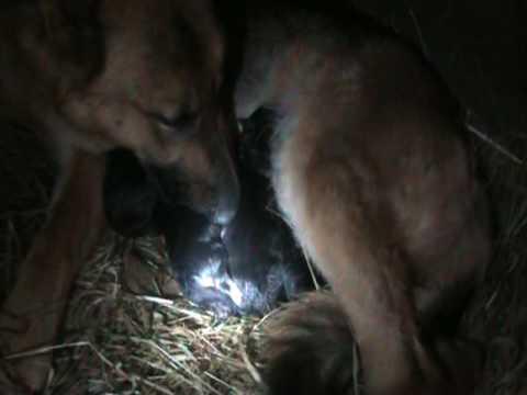German Shepherd Having First Litter Of Puppies Youtube