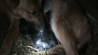 German Shepherd Having First Litter Of Puppies